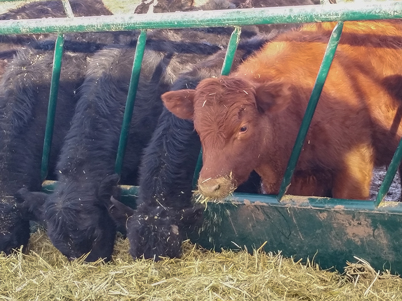 bull tombstone bale and cows for large animals hay tuff feeder round guards bulls cattle